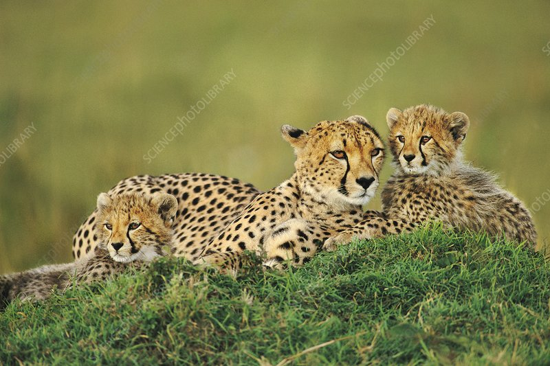 Cheetah mother with cubs, Kenya