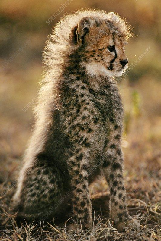 Cheetah cub, Masai Mara Reserve, Kenya