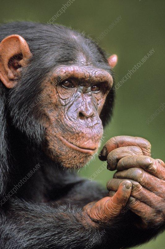 Chimpanzee male, Pan troglodytes