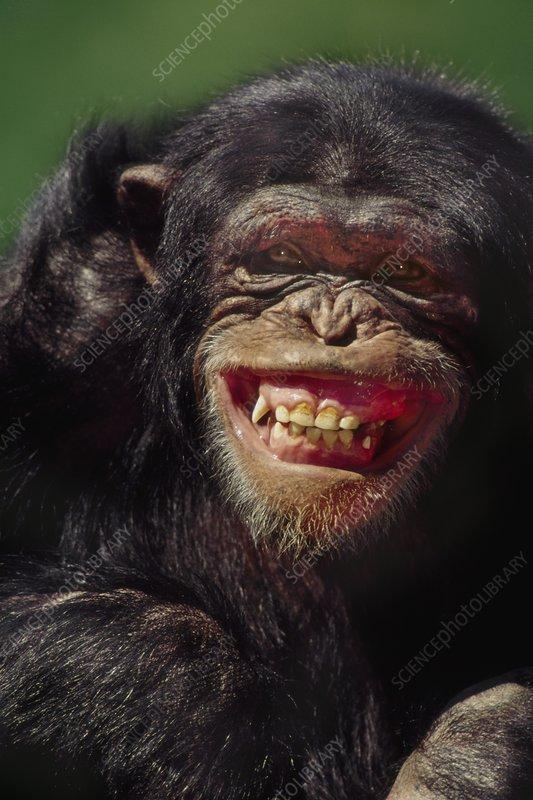Chimpanzee grimacing, Pan troglodytes