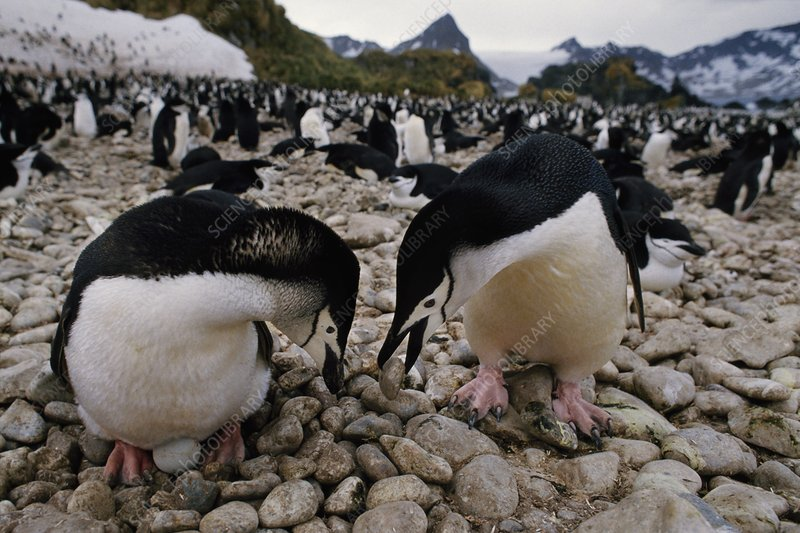 Chinstrap penguins courting