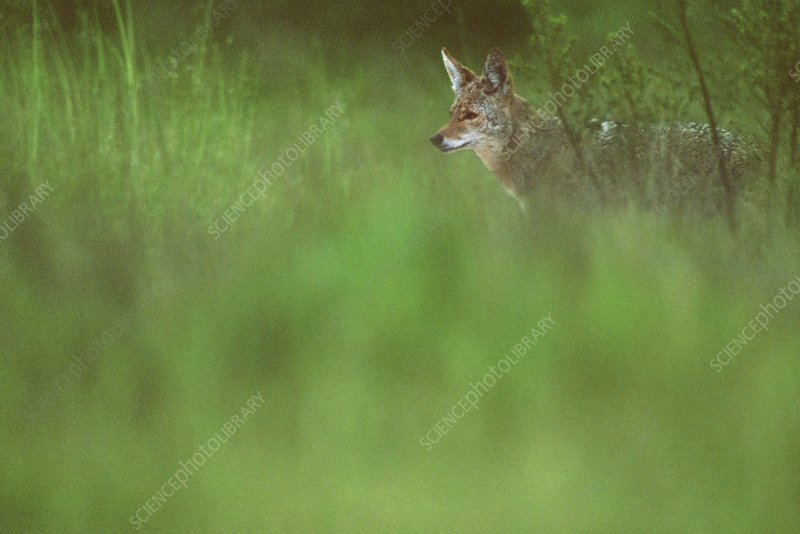 Coyote, Canis latrans, California