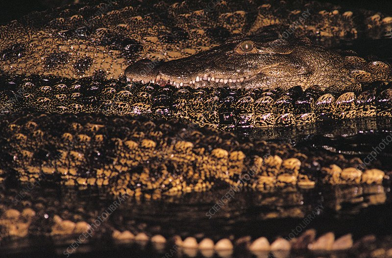 Nile crocodiles at night
