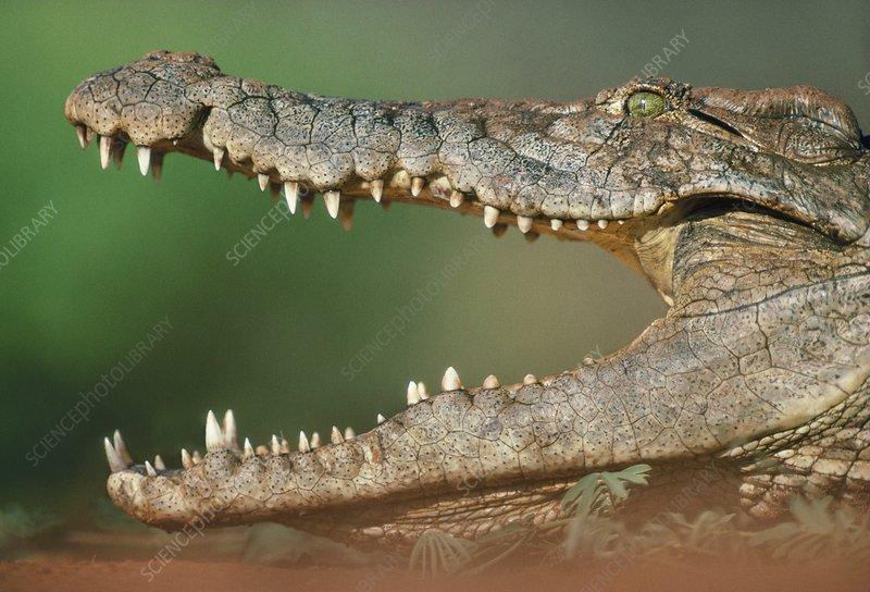 Nile crocodile, Botswana