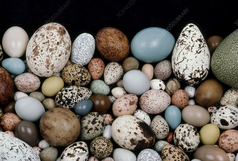 Bird egg diversity, California, USA