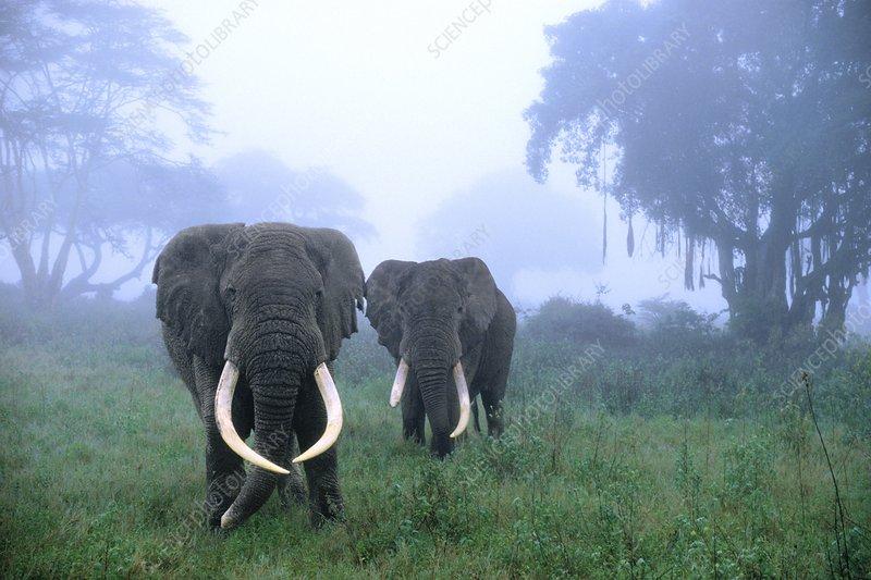 African elephants in mist, Tanzania
