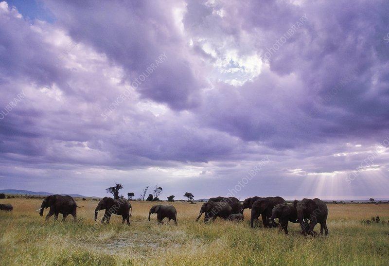 African elephants, Masai Mara