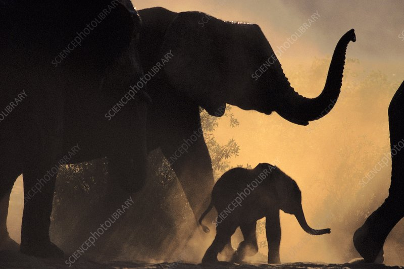 African elephant and young, Botswana