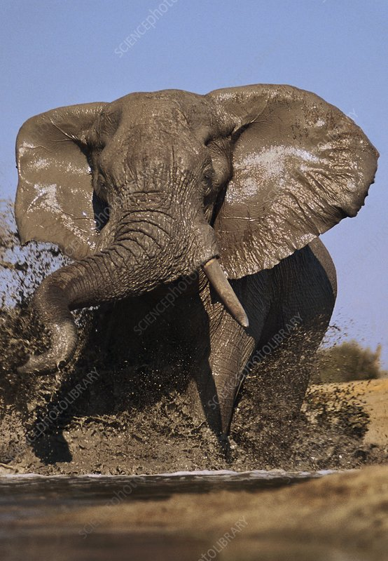 African elephant bull charging, Botswana
