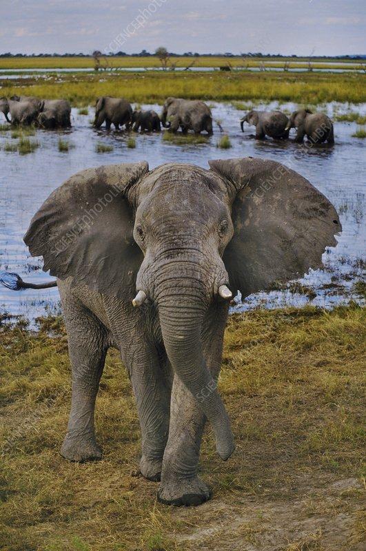 African elephant bull, Chobe Botswana