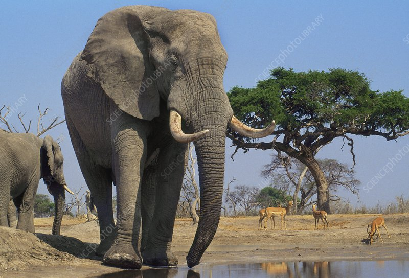 African elephants, and impalas