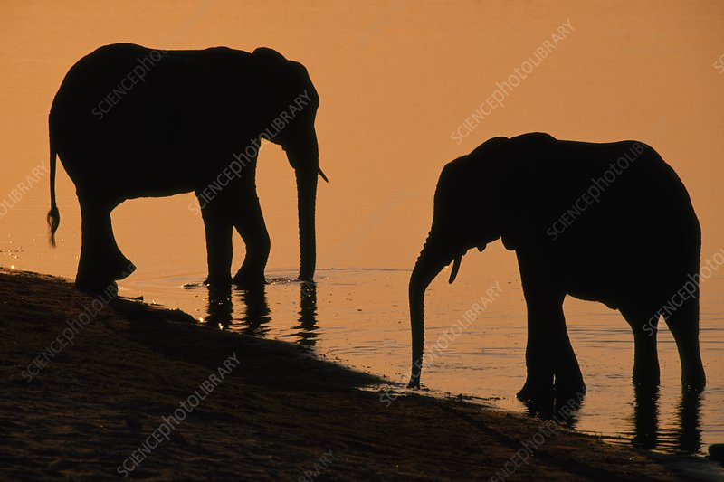 African elephants at river's edge