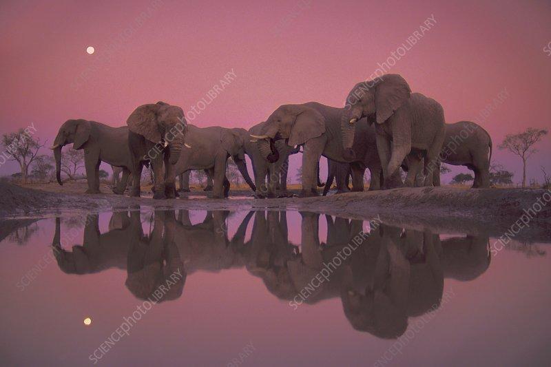 African elephants at twilight, Botswana