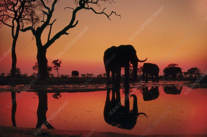 African elephants at dawn, Chobe Botswana