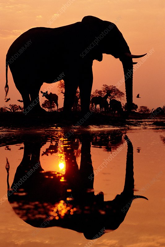 African elephant and greater kudu