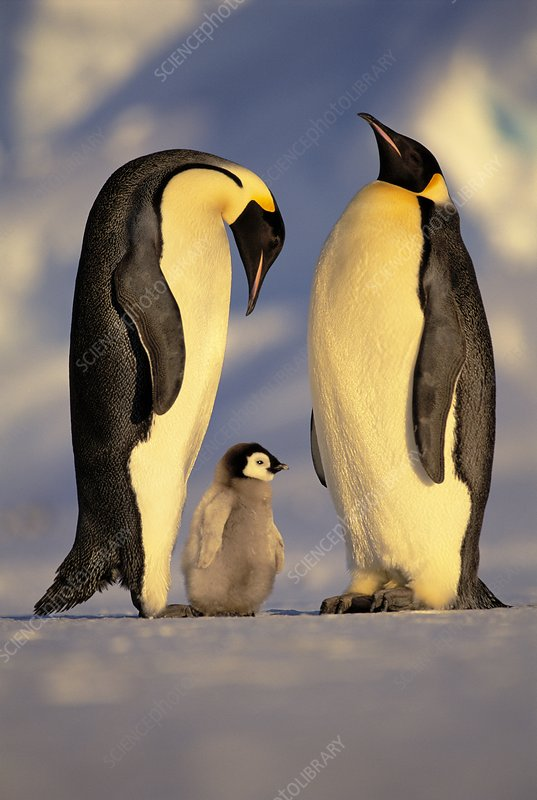 Emperor penguins with chick, Antarctica
