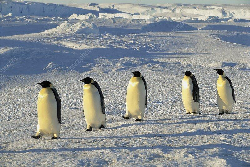 Emperor penguins walking, Antarctica