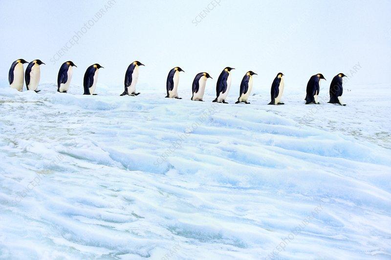 Emperor penguins walking