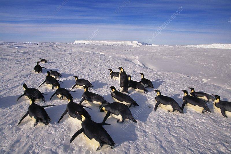 Emperor penguins tobogganing, Antarctica