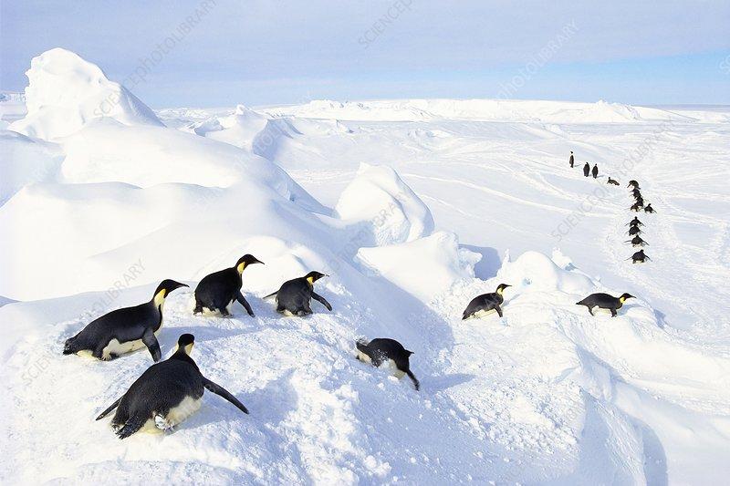 Emperor penguins tobogganing