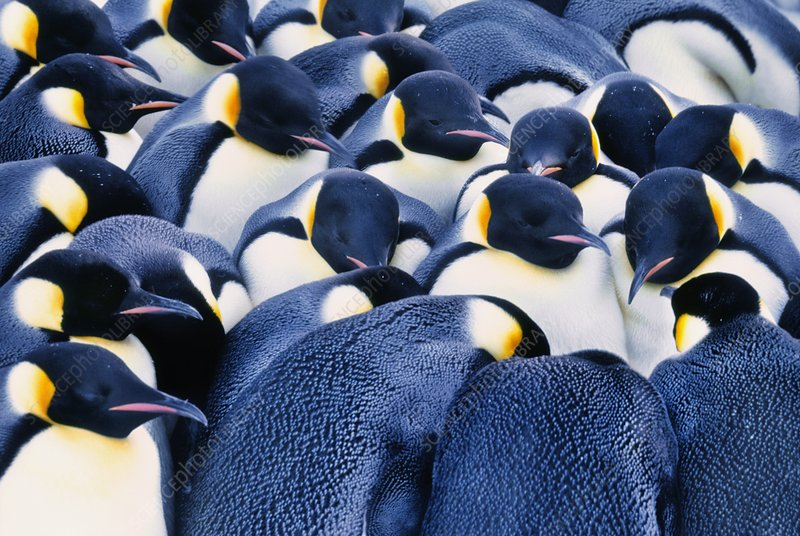 Emperor penguins huddling