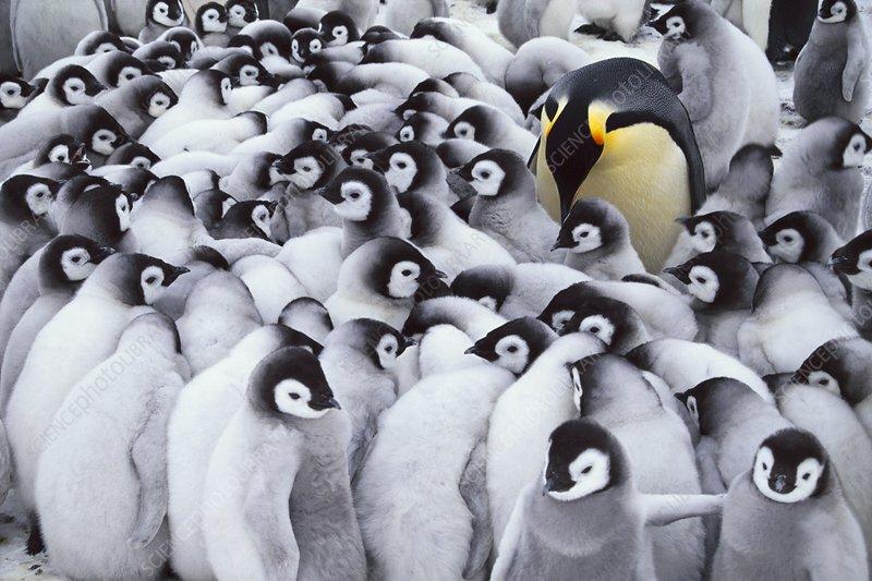 Emperor penguin parent with chicks