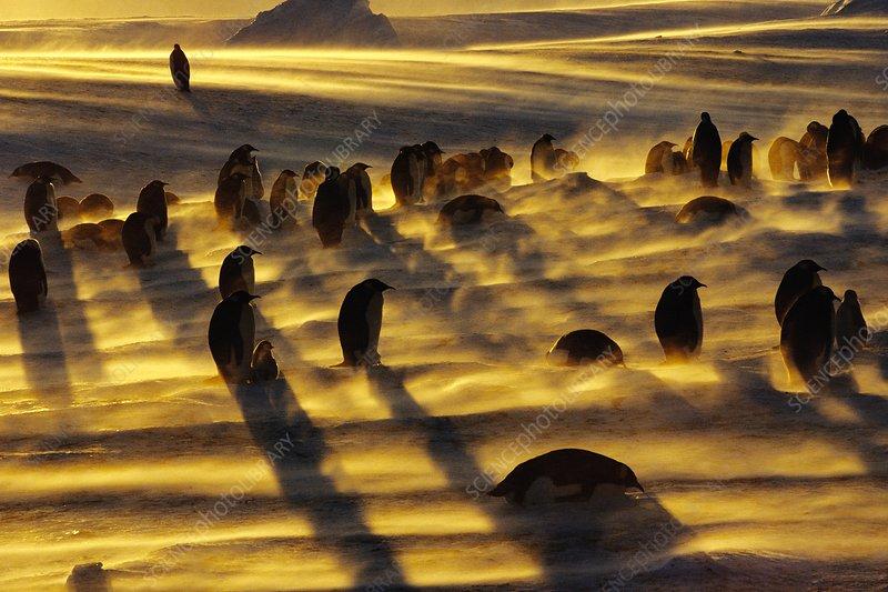Emperor penguins in blizzard, Antarctica