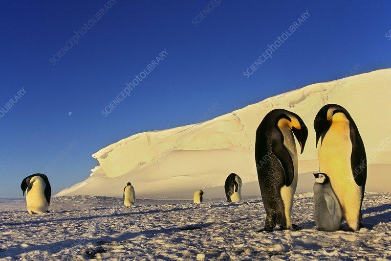 Emperor penguin family, Antarctica