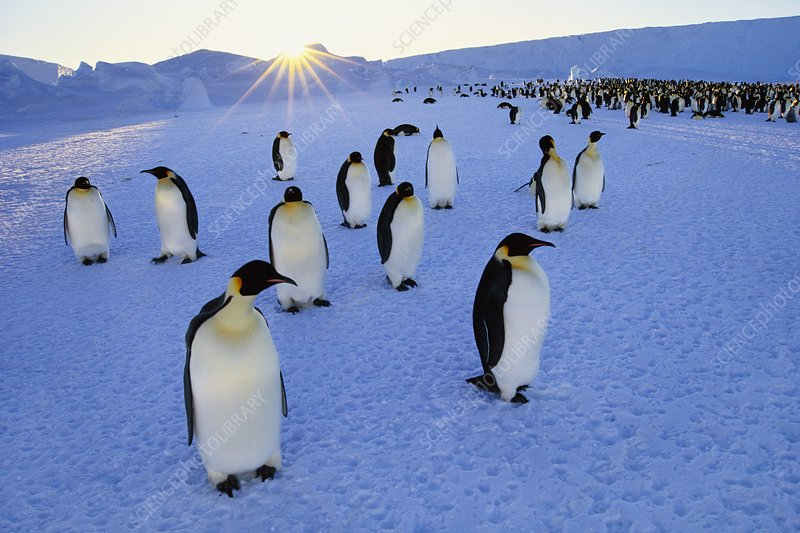 Emperor penguins and setting sun