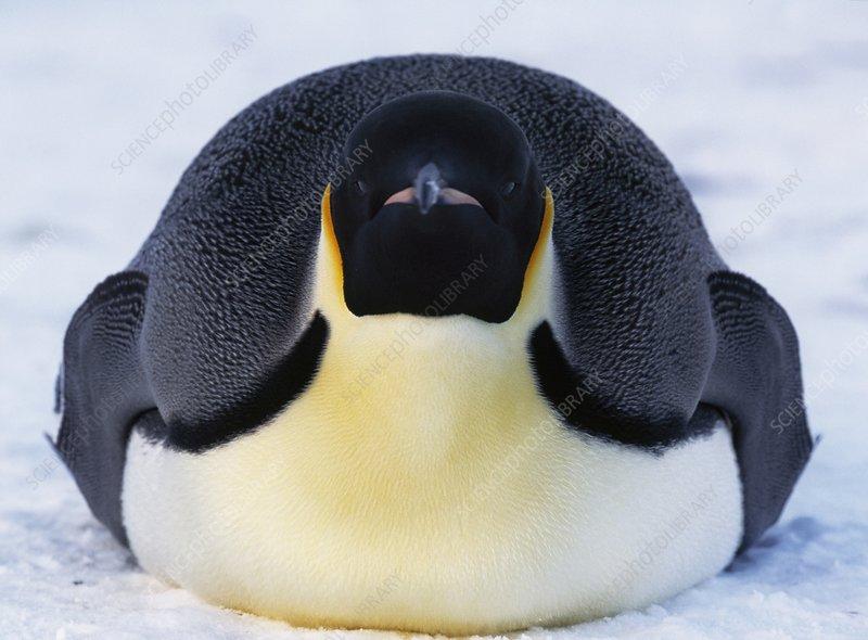 Emperor penguin tucking in flippers