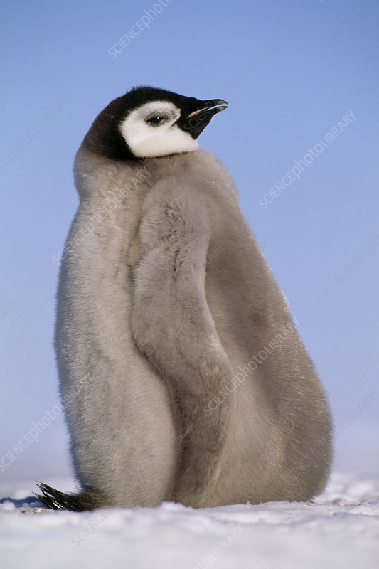 Emperor penguin chick, Antarctica
