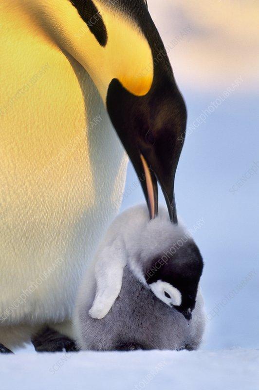 Emperor penguin attacking chick