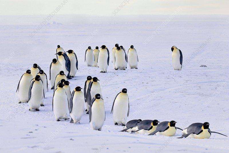 Emperor penguins moving across sea ice