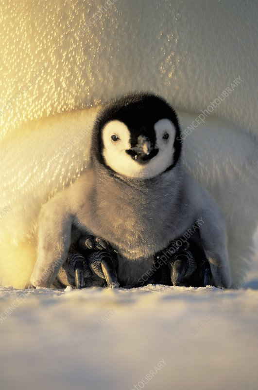 Emperor penguin chick brooded by parent