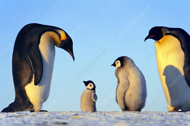 Penguins paternal response to puppet