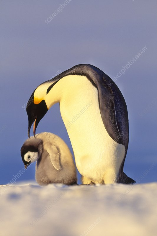 Emperor penguin attacking chick