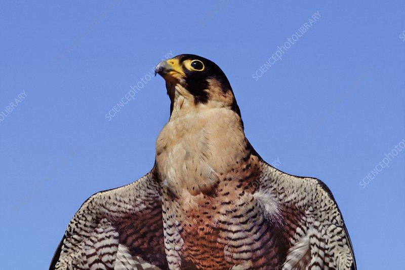 Female peregrine falcon, Falco peregrinus