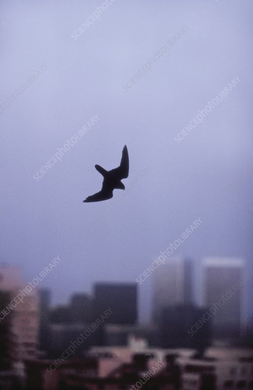 Peregrine falcon stooping at dusk