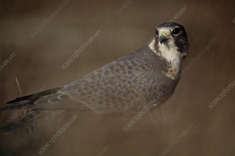 Prairie falcon, Falco mexicanus