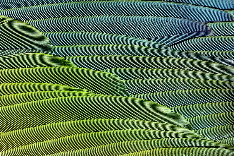 Military macaw feathers, Ara militaris