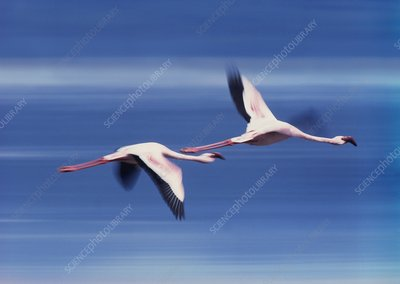 Greater flamingos in flight, Kenya