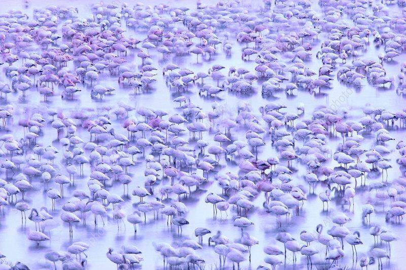 Lesser flamingos resting
