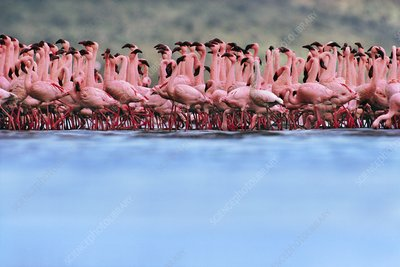 Lesser flamingo mass courtship, Kenya