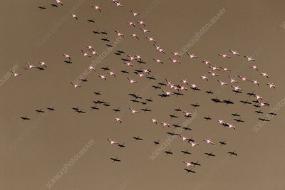 Greater flamingos, Phoenicopterus roseus