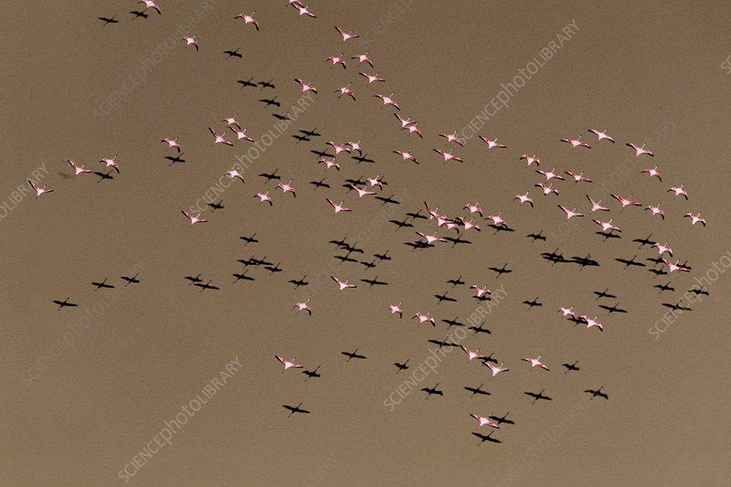 Greater flamingos, Phoenicopterus roseus