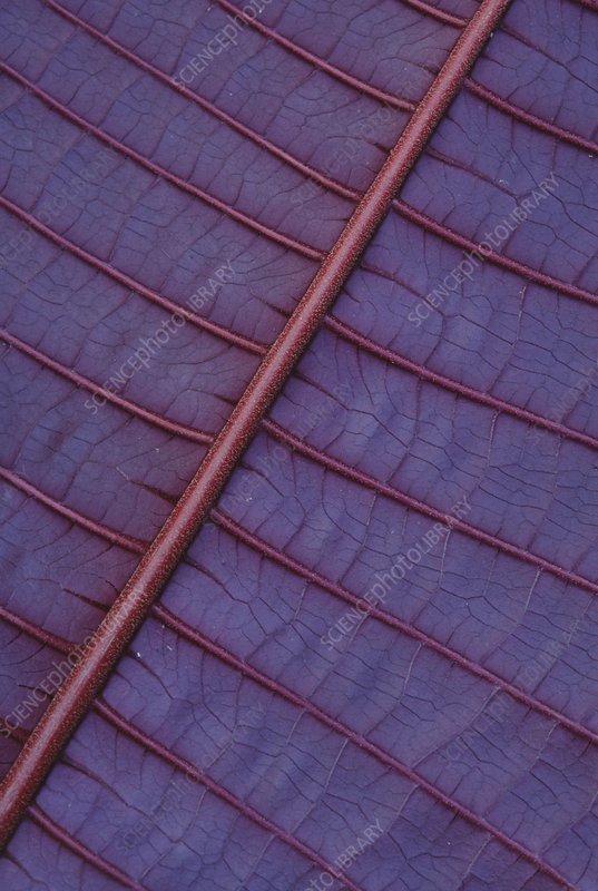 Miconia leaf, Miconia calvescens