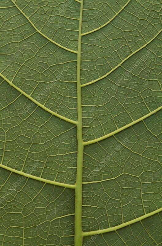 Close up of a green leaf in Manu Peru