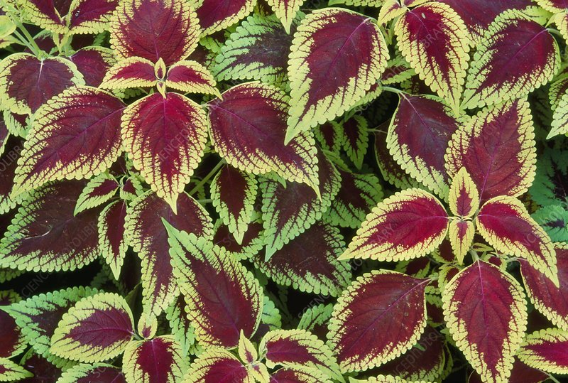 Variegated leaves with red centres