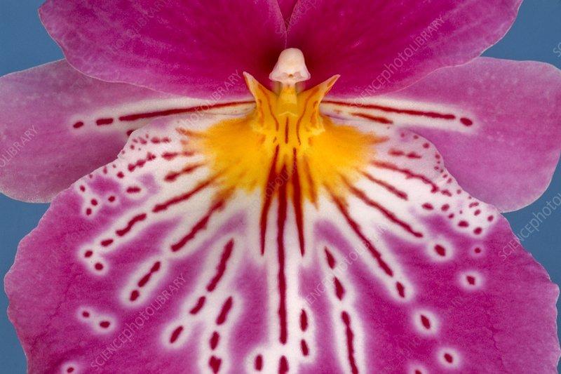 Orchid, Miltonia hybrid