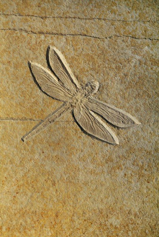 Dragonfly fossil, Solnhofen, Germany